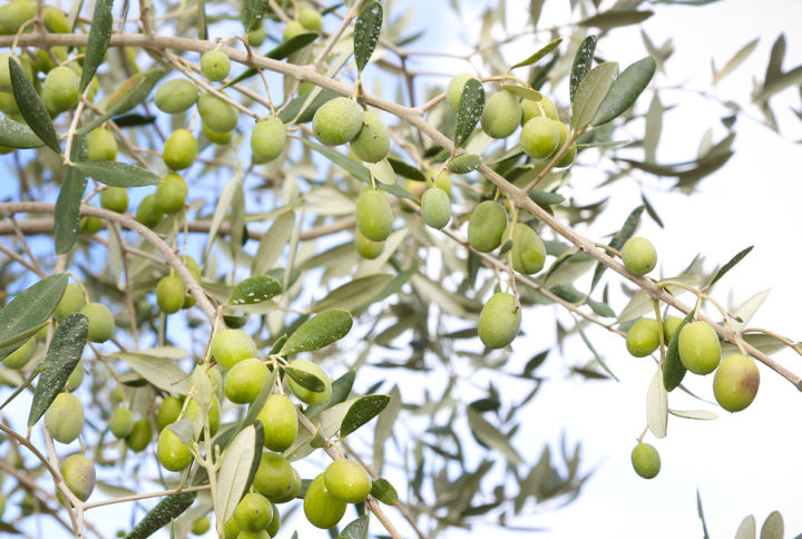 THE CULTIVATION OF THE UNCONTAMINATED LANDS OF CILENTO